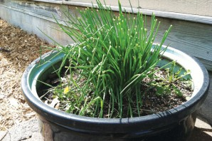 Chives in container garden