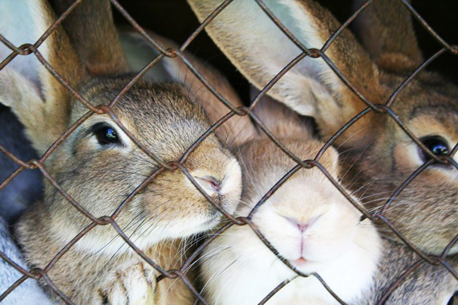According to The Huffington Post, roughly 80 percent of the rabbits at animal shelters were once given as Easter gifts.