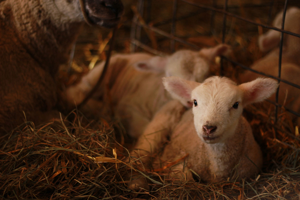 Baby farm animals can be visited and held at Govin's Farm in Menomonie.
