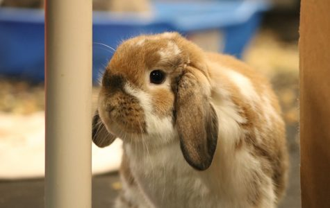 A floppy-eared bunny pauses for his close-up.