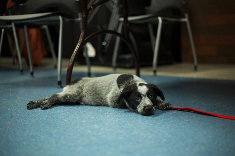 A+puppy+patiently+waited+for+a+scratch+behind+the+ears+at+the+%22Books+and+%27Beasts%27%22+event+at+L.E.+Phillips+Memorial+Library.
