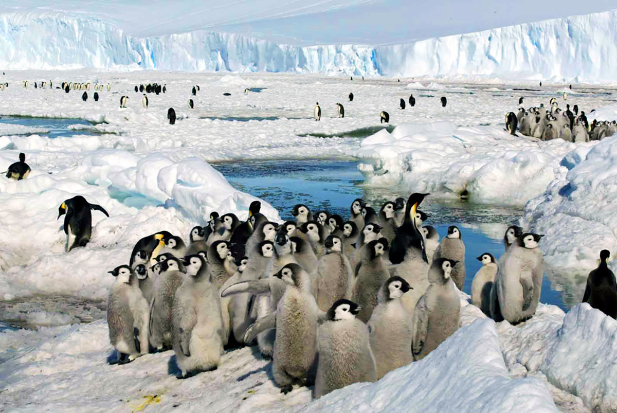 A photo by Zhang Zongtang/Xinhua via the Associated Press, shows emperor penguins hanging out on the ice in 2005.