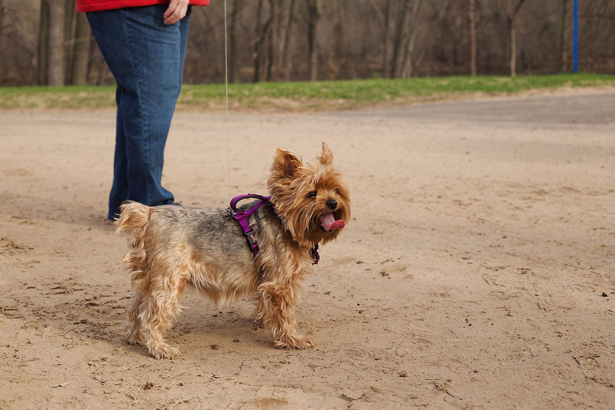 A+little+Yorkie+has+her+little+tongue+out+as+she+prepared+for+the+walk+by+running+a+few+laps+beforehand.+