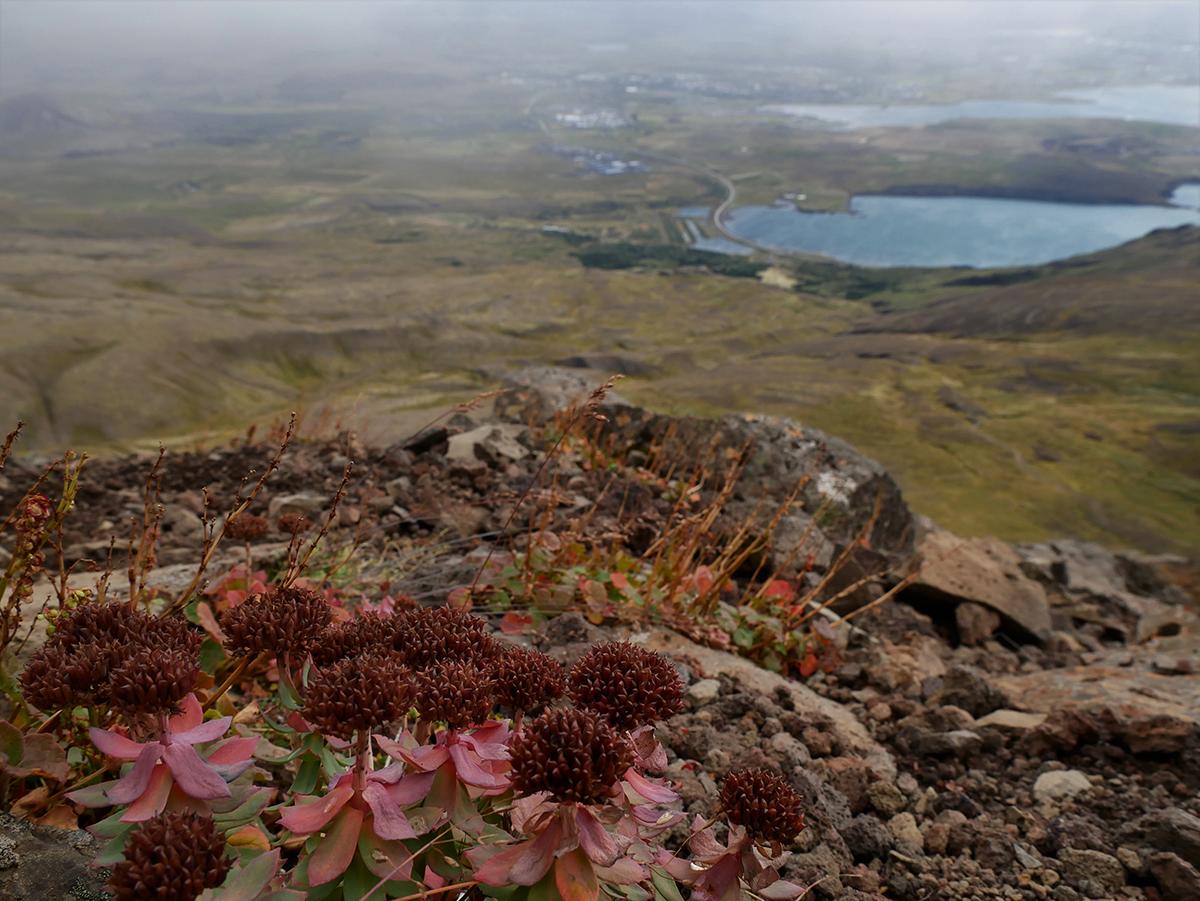 Flowers near the peak of Mount Esja, overlooking the base of the mountain.