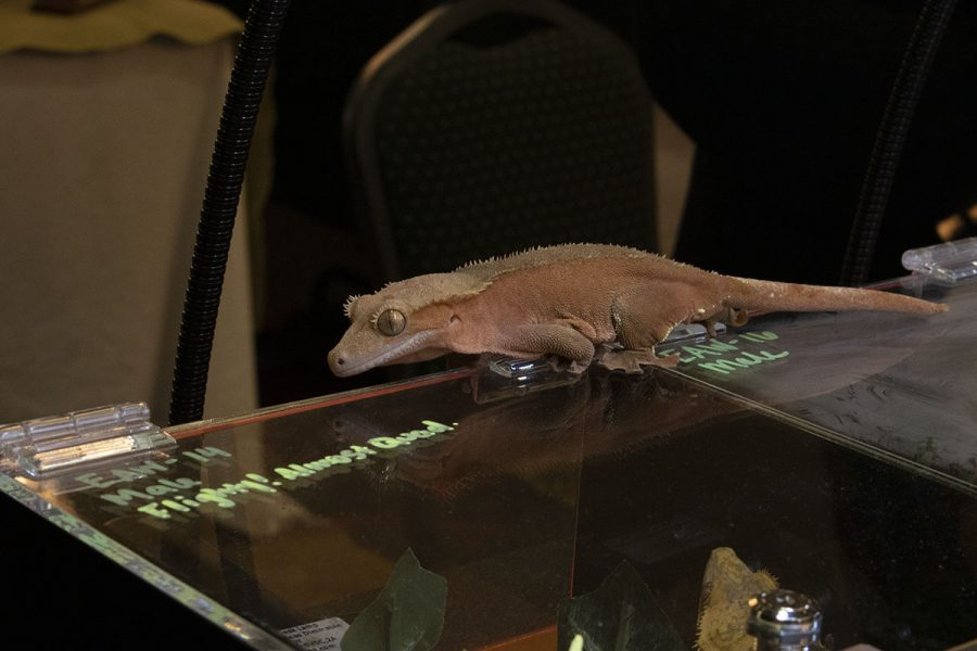 A lizard scuttles across the glass case away from its breeder.