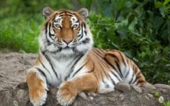 A tiger sitting down staring at the camera.