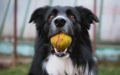 Pictured is a border collie holding his favorite toy. Peggy is a 10-year-old Norfolk collie who lost her hearing, but she defied that challenge.